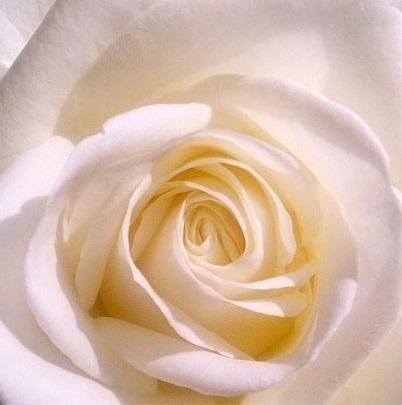 rosa-bianca-purezza