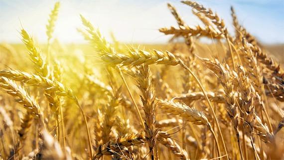 campo-grano-sole