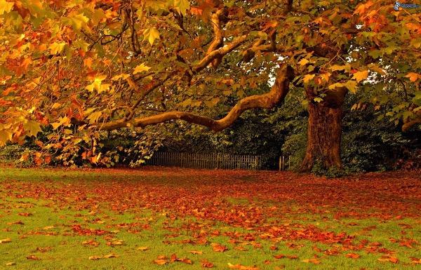 foglie-colorate-grande-albero-giardino-autunno-foglie-secche-161739